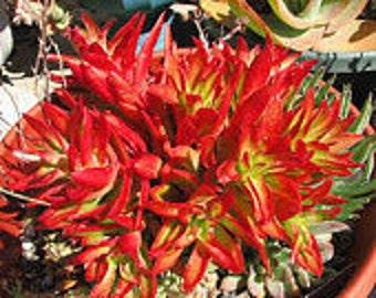 Mature Succulent Plant Crassula Capitella or Campfire Plant .Firey orange and red , brilliantly colored succulent!