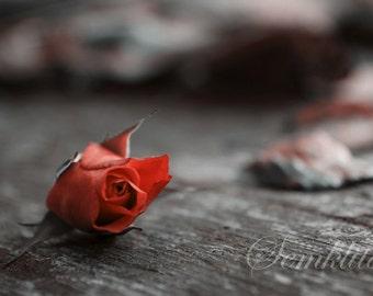 Digital Download photography Last rose of 2014