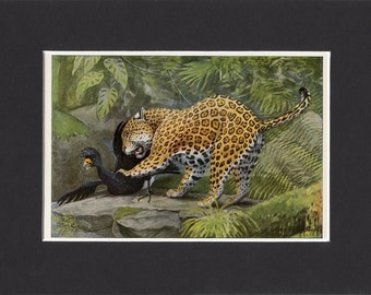 Jaguar Print 1916 by Louis Agassiz Fuertes Vintage Mounted Bookplate Picture with Mat Jaguar Picture Jaguar Cat Print Vintage Jaguar Art