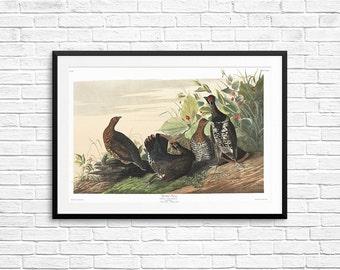 Spotted Grouse, antique bird art, vintage bird prints, antique bird posters, vintage birds, vintage wall art, Audubon posters, Audubon Book