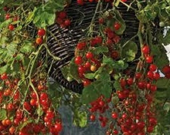25 Smallest Currant Tomato Seeds-1136A