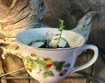 Succulent with Sea Shells in 2.5 Inch Vintage Tea Cup Planter with  Strawberry Pattern and Drainage Holes Great Windowsill Plant