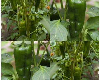 ANCHO POBLANO Chile Hot Pepper seeds - 1,000 - 5,000 SHU - Dark green to mahogany - 70 - 80 Days