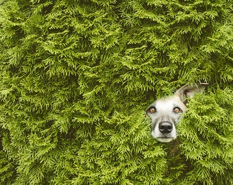 Print of a photo of a dog looking out of a hedge