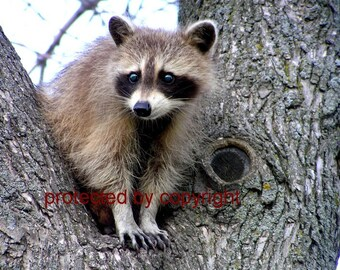 Raccoon Card Wildlife Photo Raccoon Lookout Write Your Own Msg Blank Card 5 x 7 Nature Lovers Card Animal Photography Walll Art Cottage