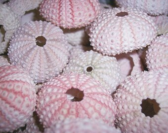 BULK Price Pink Sea Urchin Shells Loose Sea Life Supplies Coastal Decor Arts Crafts Urchin Pastel Seashells Beach Decorating DIY arrangement
