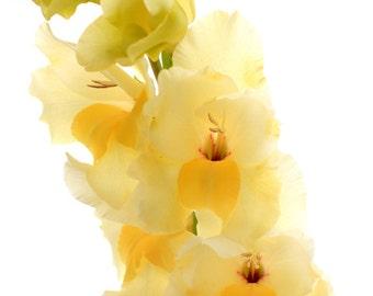 Lemon Yellow Gladiolus Flowers - Photo Print - Flower Photography - Size 8x10, 5x7, or 4x6