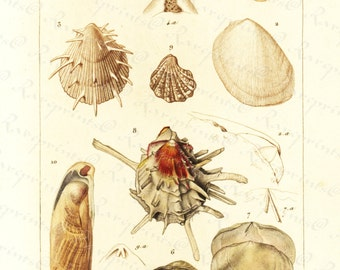 Original Antique Hand Colored Sea Shell engraving from 1829 -