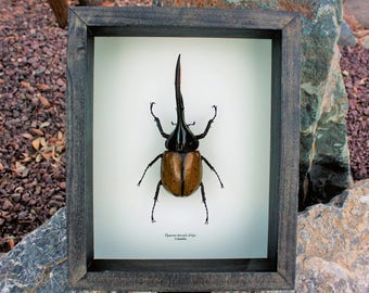Real Giant Hercules Beetle !