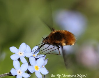 Bee Fly Fine Art Photographic Blank Greetings Card