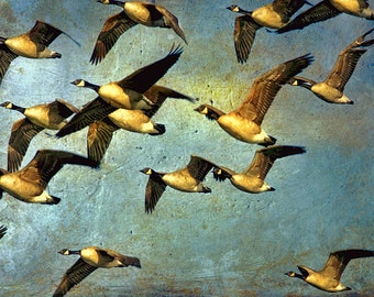 Canada Goose, Canadian Art, Bird Photography, Canada Geese, Canadian Shop, Textured Wall Art, Flying Birds, Flock of Birds,Nature Photograph