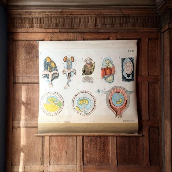 Antique Pull Down Chart, Mammal Reproduction Chart, Denoyer Geppert, Embryology School Chart, Scientific Illustration