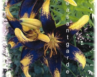 Black and Yellow Tango Lily Flower Bulbs plant now for stunning blooms this spring/summer. Hardy zones: 3-9; easy to grow perennial