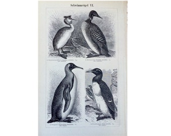 1894 ANTIQUE SWIMMING BIRDS print original antique lithograph - penguin grebe loon auk - shore birds pelican tern
