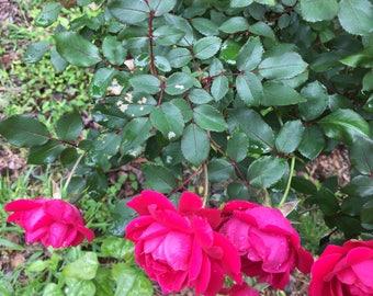 rose love