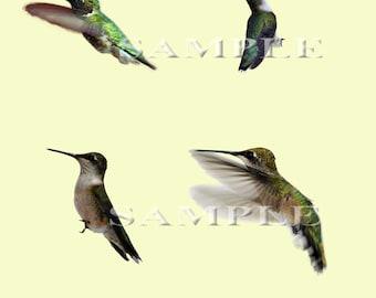 Hummingbird PNG file overlays