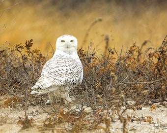 Snowy Owl Golden Beach