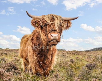 Limited edition print number 1 of 1 Wild life photography, highland bull.