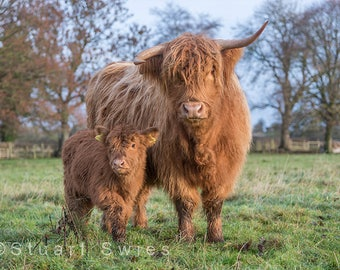 Highland Cow Digital Print, Download Photography, Downadable Wall Art