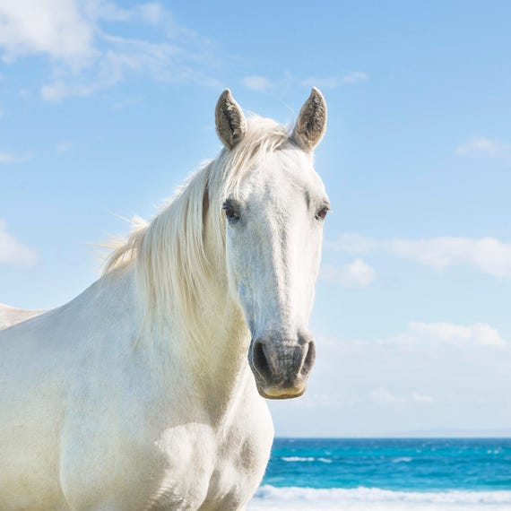 BEACH HORSES 3. Spanish Horse, Equine Photography, White Horse, Spain, Animal Portrait, Photographic Print