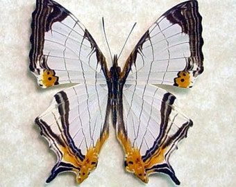 Dad's & Grad's Gift Map of Malaysia Butterfly Real Framed Cyrestis Nivea Nivalis 8917