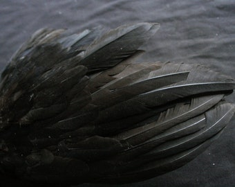 """x1 Black Wing: 10"""", Real Feathers, Non-Toxic - gallus gallus domesticus  CHW046"""
