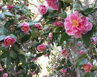 Camellia japonica 'Herme' aka 'Jordon's Pride' aka 'Hikarugenji'