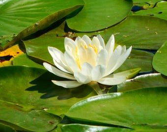 Lovely Water Lily