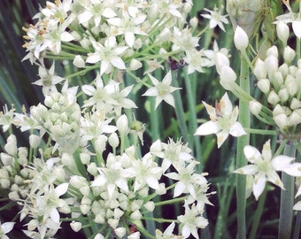 Garlic Chive Seeds, Herb Garden Seed, Easy to Grow Chive Seeds, Great for Container Gardening and Small Space Gardens