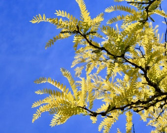 Yellow Leaves in a Blue Sky -- Digital Download, Landscape Photo