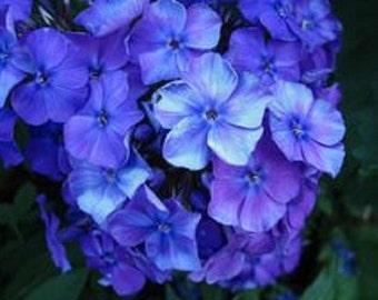 Blue Beauty Phlox Flower Seeds / Drummondii Nana/ Annual  30+
