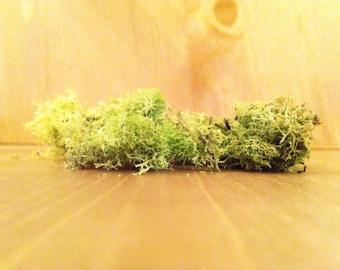 Reindeer Lichen Moss for Terrarium