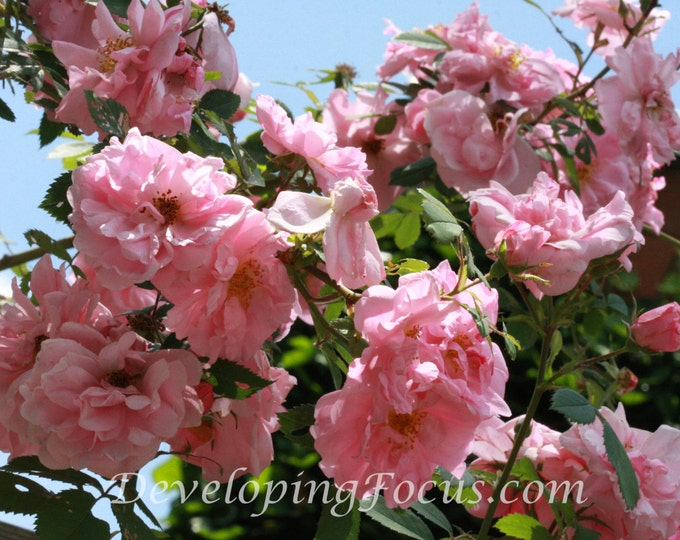 Pink Climbing Roses Cascade Photography Art Print, Pretty in Pink Photography Art, Roses Instant Download Photography Card or Print