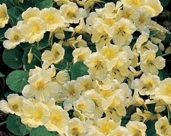 ANA) MILKMAID NASTURTIUM~Seeds!!!~~~~Creamy Beauty!!