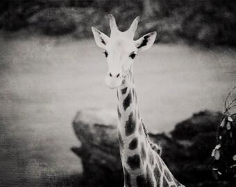 Black and White Giraffe Photo - 8x10 photograph - Baby Giraffe - fine art print -  Black and White photography - nursery art