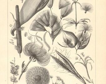 1913 Seeds, Vintage Engraving Print
