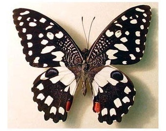 Dad's & Grad's Gift Gift Real Framed Checkerboard Butterfly Conservation Display 152