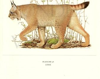 1970 Vintage lynx print Vintage wildcat poster Antique animal art  Lynx poster Lynx art Wildlife poster Wildlife art mammals of Europe