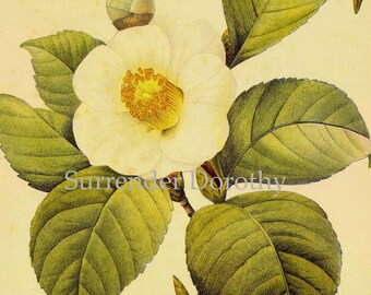 Camellia Japonica Flower Vintage Lithograph Poster Print By Redoute Botanical Lithograph To Frame 53