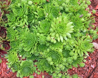 LIVE PLANTS From My Garden Hens & Chicks Sempervivum Green Wheel Succulents Plantings Not Seeds Hen-and-Biddies