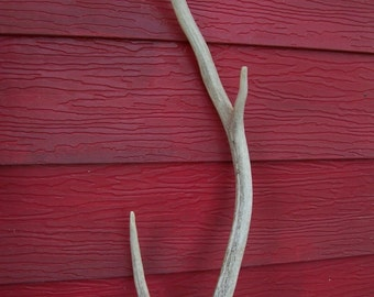 "Antler 3 points length 29"" Texas wildlife Stag bone hunting Texan Hunter  rustic decor for Hunter retro Texana Lot M-10"