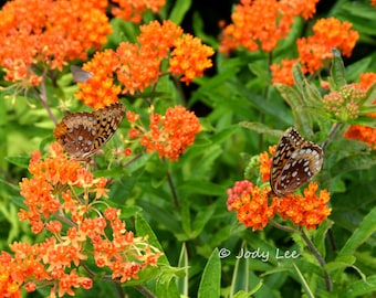 Butterfly photograph, Nature photography, Insect, Garden, Orange Flowers, Wall art, fine art, home decor, Floral