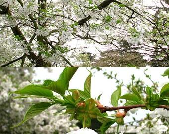 Sakura Diptych: springtime white blossom flower photograph