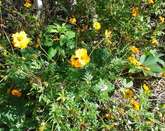 Indonesian Cosmos Flower Seeds Organic Flower Power Non GMO open pollinated Orange and Yellow