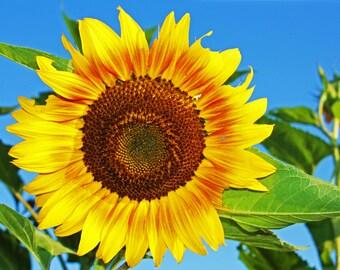 Sunflower Photos, Flower Print Decor, Sunflower Wall Art, Floral Art, Yellow Flowers, Nature Photography