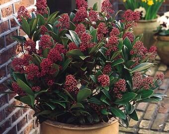 5 Skimmia japonica Seeds, Japanese skimmia Seeds