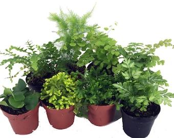"""Mini Ferns for Terrariums/Fairy Garden - 8 Different Plants-2"""" Pots"""