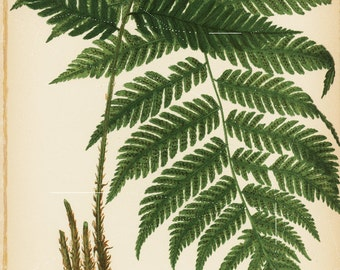 Antique Original The Goldies Wood fern Print From Beautiful Ferns Of America 1886