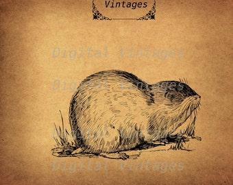Lemming Lemmings Rodent Animal Detailed llustration Vintage Digital Image Download Printable Graphic Clip Art Prints HQ 300dpi svg jpg png