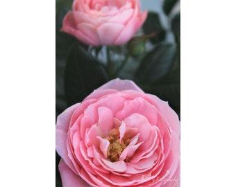 Les roses Roses NewShopSale photo print - tirage d'art jardin nature macro mur photo décoration chambre d'enfant fille cadeau maman femme salle turquoise